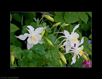 Columbine blossoms - Boston