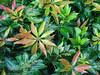 Japanese Andromeda Pieris japonica