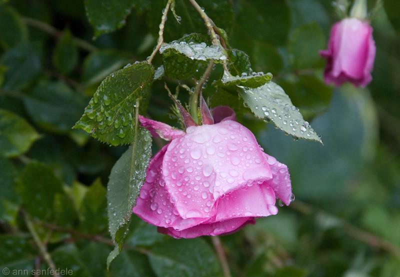Rose in the rain - boston 2008