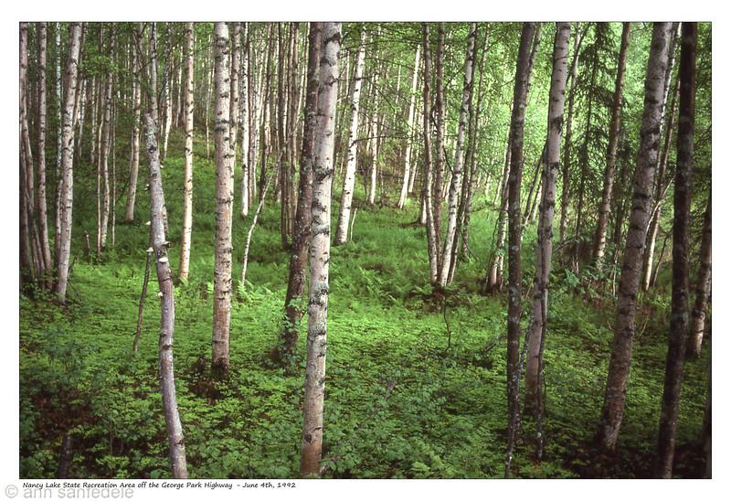 Birches at Nancy Lake Regional Park, Alaska June 4th, 1992