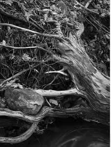 The tree clings to the banks, but its roots don't go into the bed of the creek.
