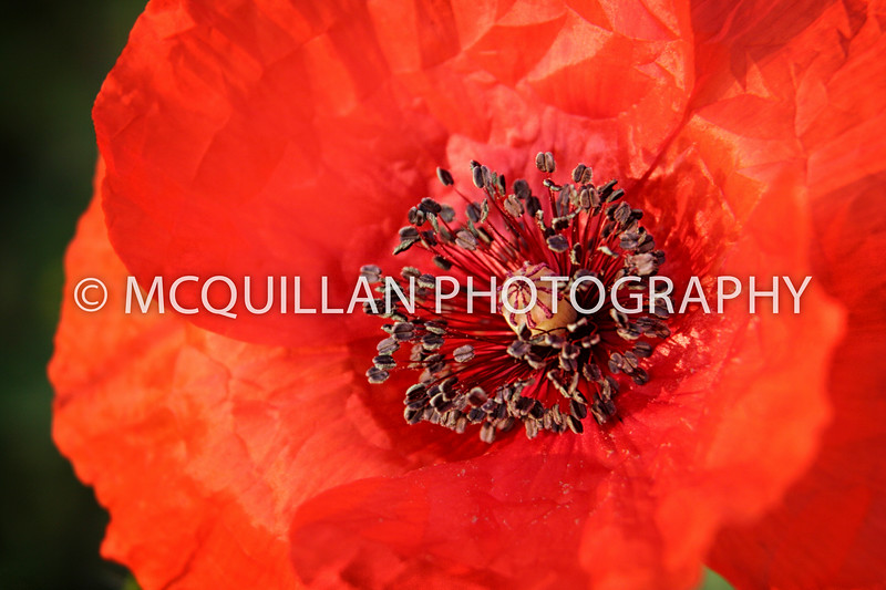 015-3 Poppies Detail Extractor Selectively applied