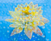 Water Dahlia<br /> Nancy Myer