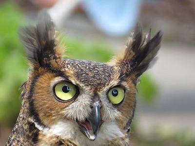 John Spangler_Owl