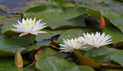 Gene Lentz_White Water Lilies