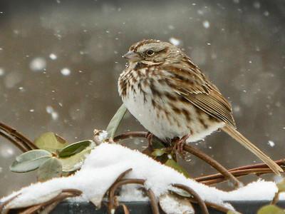 Jim Davis_Snow Sparrow