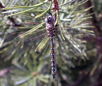 Fredrickson_Carolyn_Dragonfly