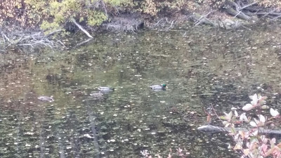 camouflaged duck  ~ quiet pond ~ on a walk
