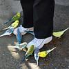 D McCall-Sylvan Heights Parakeets
