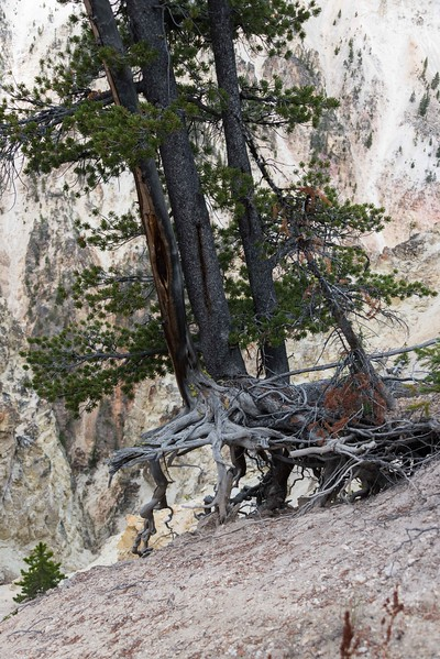 Nature's survival -  Grand Canyon of the Yellowstone
