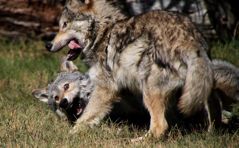 Wolf Pups at Play