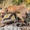 Stealthy Fox
