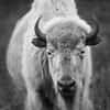 Nima - White Bison