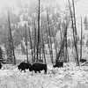 Winter bison in Yellowstone National Park.