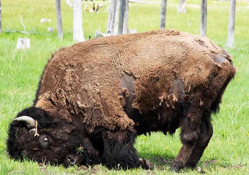 Bison Does Yoga