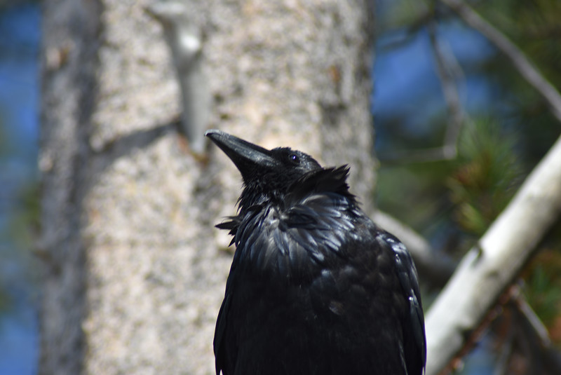 West Thumb Geyser Basin Raven