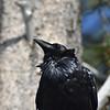 West Thumb Geyser Basin Raven