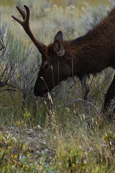 Mammoth Hot Springs Elk
