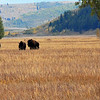 Bison In a Gallop, Mormon Row, Grand Tetons