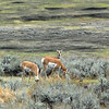 Pronghorns, Lamar Valley, Yellowstone
