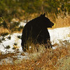 Black Bear, Yellowstone