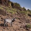 Hillside Zebra's