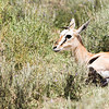 Newborn Gazelle and Mother