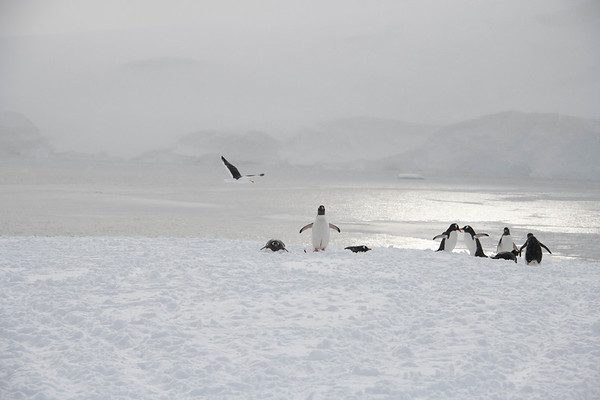 D ́Hainaut Island, Gentoo Penguins