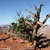 Tree at Dead Horse Point Overlook