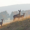 Canaan Valley Deer