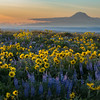 Lupin and Balsamroot and Mt. Adams at Columbia Crest Washington