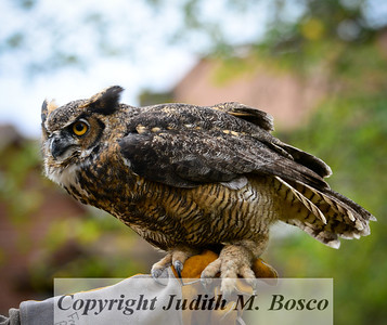 JMB_7173-2 Great Horned Owl.