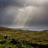 Sheep in the light