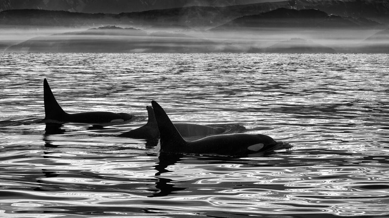 Three Orca!