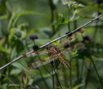 Painted Skimmer, Libellula semifasciata.