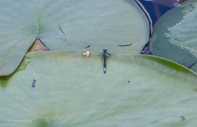 Lilypad Forktail.  Another new one to me, and not found yet in my part of the state,