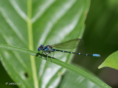 Blue-ringed Dancer, Argia sedula.  I occasionally see them, but rarely.