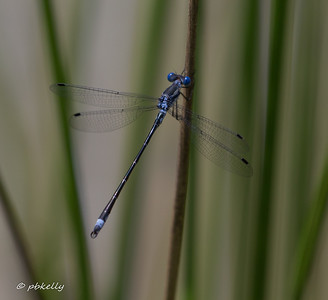 Southern Spreadwing male, Lestes australis.