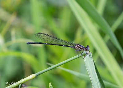 Immature male Powdered Dancer, Argia moesta.