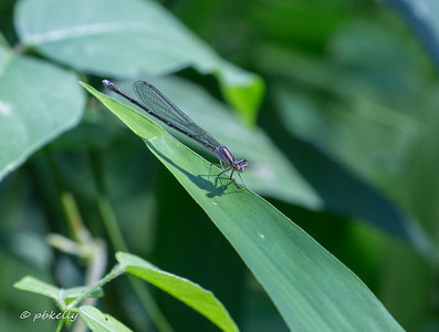 Female Turquoise Bluet,  Enallagma divagans.