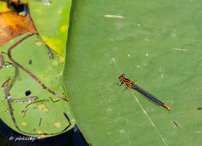 The brilliant red-orange form of the Lilypad Forktail.
