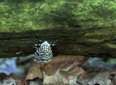 This Giant Leopard Moth,  Hypercompe scribonia, crawled to the underside of  log and posed.  Wonderful thing!