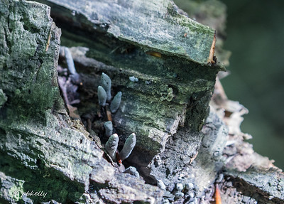 These fungi were growing in a rotting tree trunk.  Something along the lines of Dead Man's Fingers.
