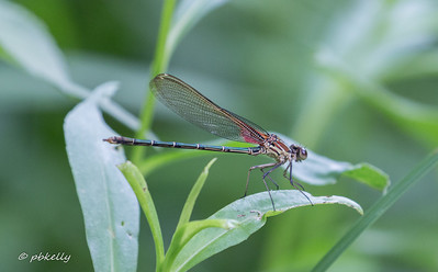 American Rubyspot,  Hetaerina americanus.  One of our group captured this one, and when released, it just went and posed on a leaf.