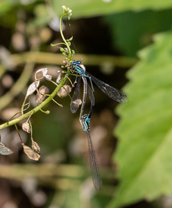 Azure Bluet in wheel.