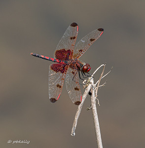 A beautiful mature male Calico Pennant