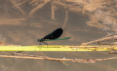 Male Ebony Jewelwing.  One of my favorites.  They were in abundance along every ditch & stream.