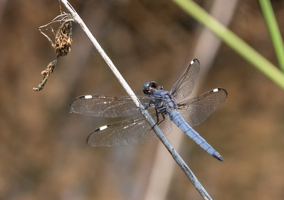 Spangled Skimmer, a first for me.  They were all over the Wilson Wetlands.