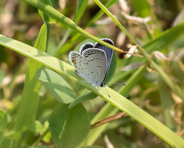 Tailed Blue, a break from Odes.