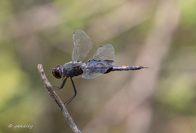 Black Saddlebags .